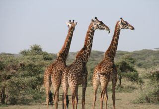 giraffe-1330814_1920
