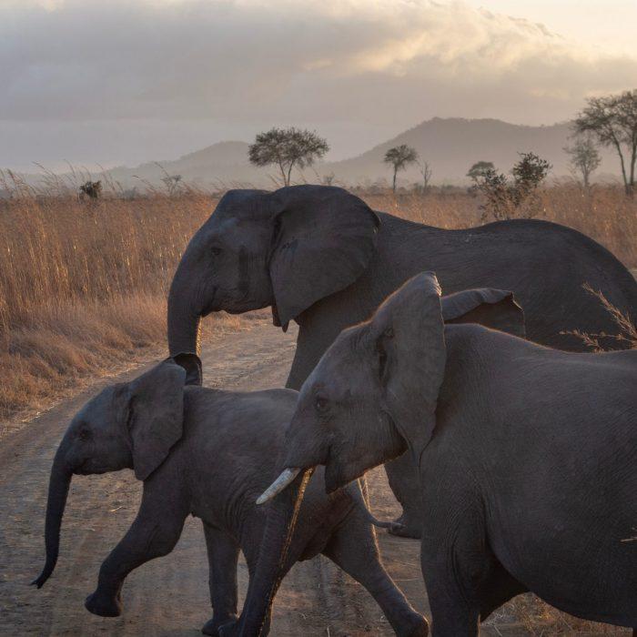 Słonie przechodzą przez drogę