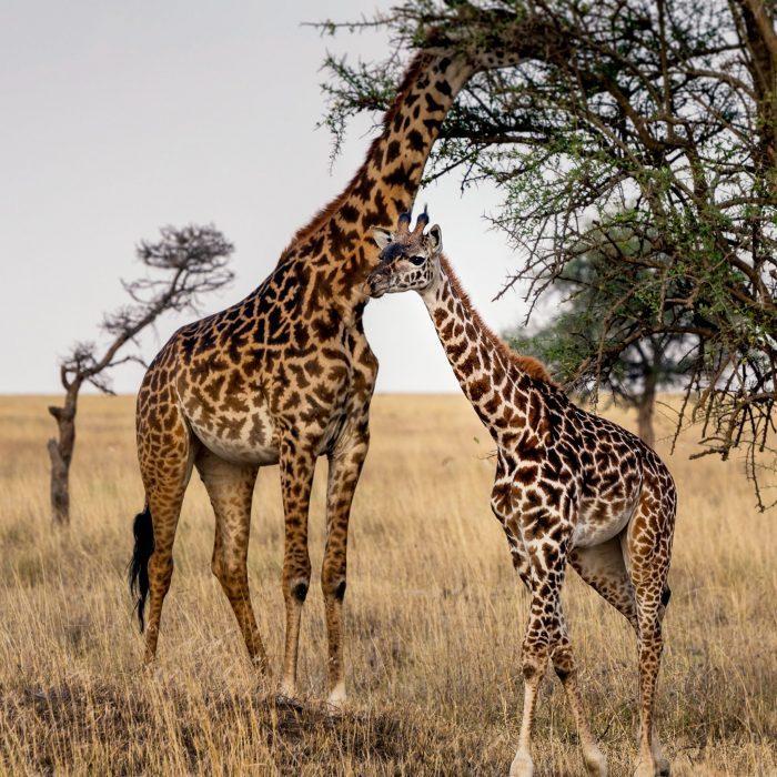 Żyrafy w Tanzanii